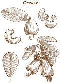 cashew set of vector sketches on an white background