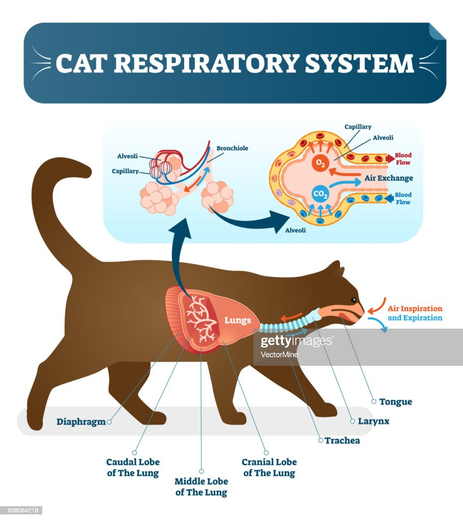 Cat Tongue Anatomy Diagram Car Wiring Diagrams Explained