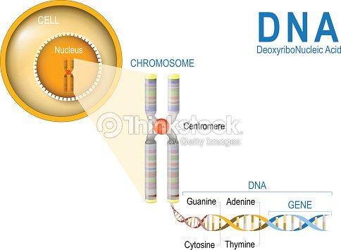 Zelle Chromosomen Dna Und Gene Zellstruktur Vektorgrafik | Thinkstock