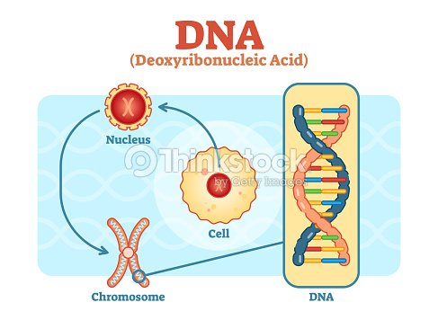 Cell nucleus chromosome dna medical vector diagram arte vetorial cell nucleus chromosome dna medical vector diagram arte vetorial ccuart Image collections