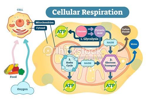 Cellular respiration medical vector illustration diagram respiration cellular respiration medical vector illustration diagram respiration process scheme arte vetorial ccuart Image collections