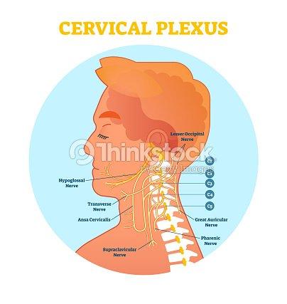 Zervikaler Plexus Anatomische Nerv Diagramm Vektorillustrationschema ...
