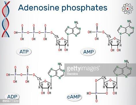 Chemical Structural Formulas Adenosine Phosphates Nucleotides