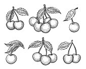 Cherry sketch. Vector engraved or hand drawn dessert cherry wild berries isolated on white background