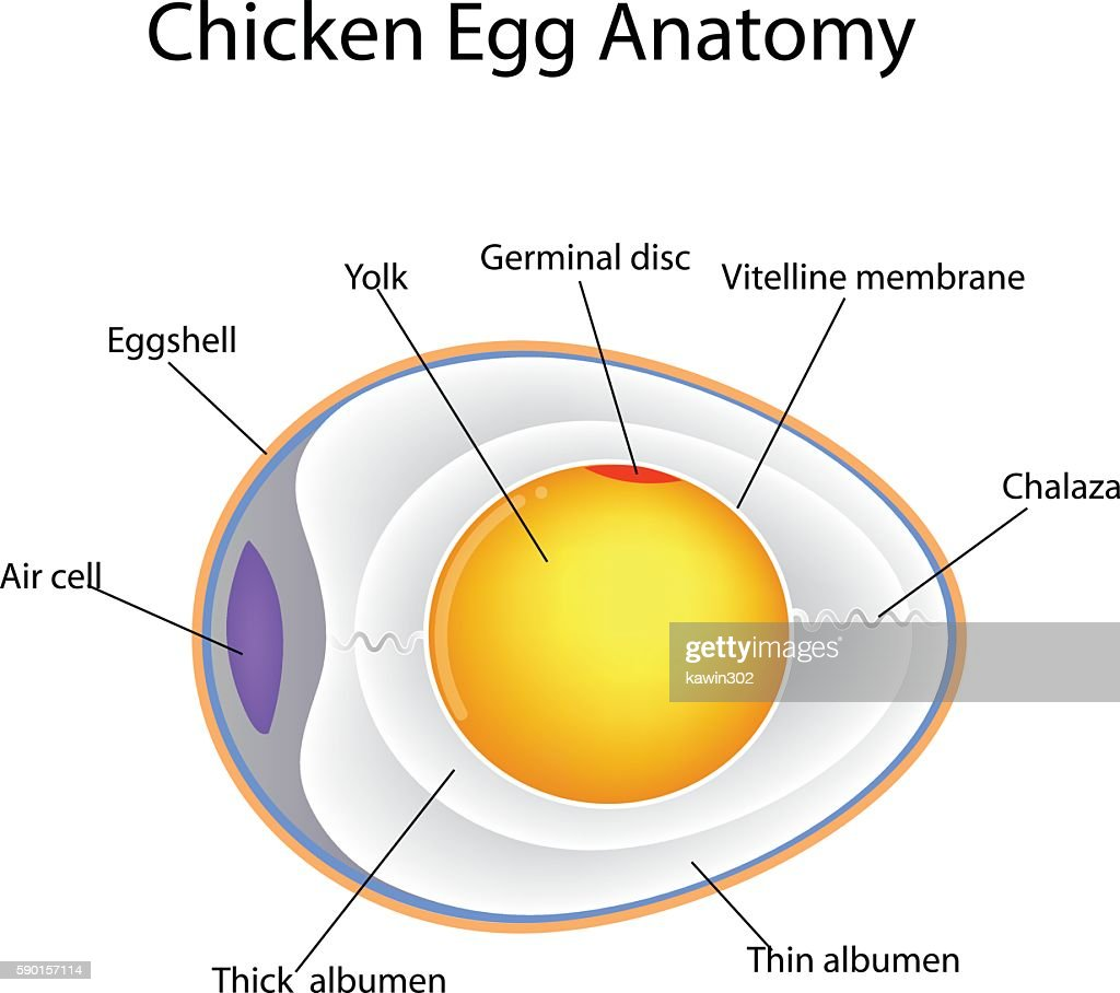 Egg Anatomy Diagram - House Wiring Diagram Symbols •