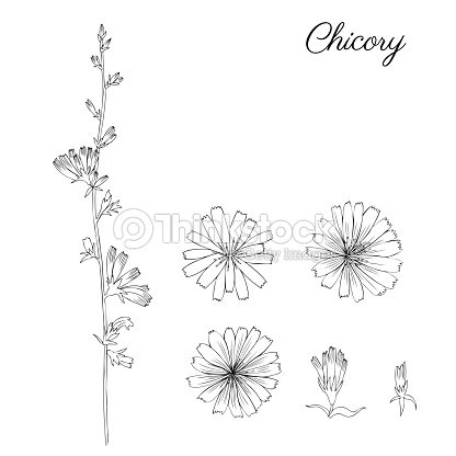Chicory flower bud leaf hand drawn graphic vector botanical chicory flower bud leaf hand drawn graphic vector botanical illustration doodle ink sketch isolated on white medical endive plant contour style for stopboris Choice Image