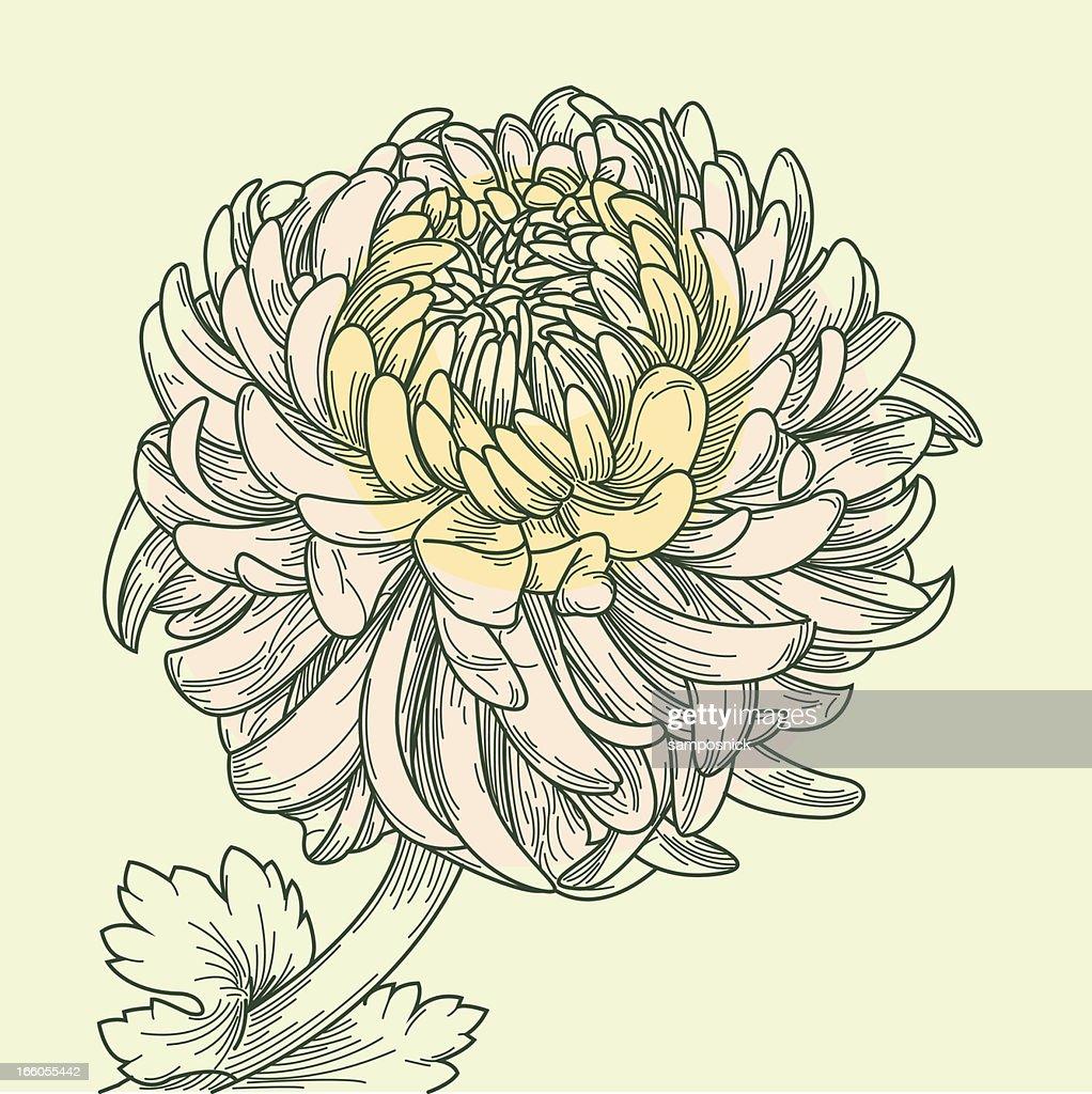 Chinese Chrysanthemum : Vector Art