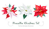Christmas poinsettia selection vector design set. Watercolor style plants isolated on white background. Collection for holiday banners. Home floral decoration. All elements are isolated and editable.