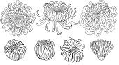 Chrysanthemum vector on brown background.Chrysanthemum flower by hand drawing.Floral tattoo highly detailed in line art style.Flower tattoo black and white concept.