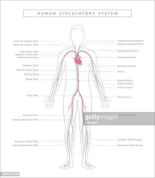 human artery stock illustrations and cartoons
