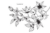 Hand drawing and sketch Clematis flower. Black and white with line art illustration.