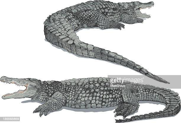 Close up of two grey crocodiles isolated on white background