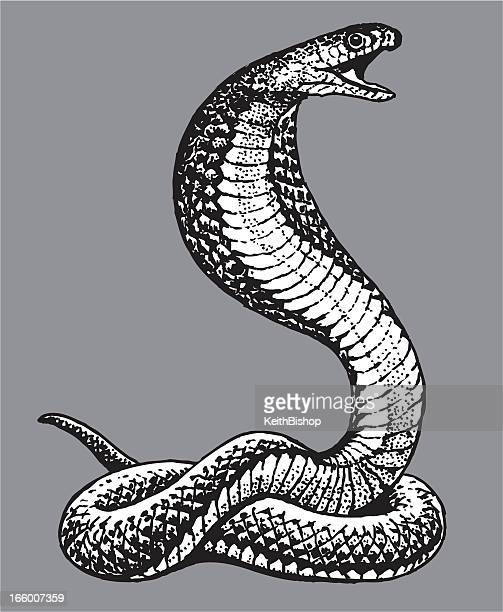 Illustrations et dessins anim s de cobra getty images - Dessin de serpent cobra ...