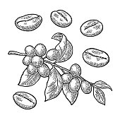 Coffee branch with leaf, berry and beans. Hand drawn sketch style. Vintage black vector engraving illustration for label, web. Isolated on white background.