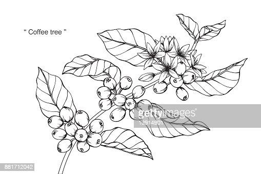 Coffee Flower Drawing Vector Art Thinkstock
