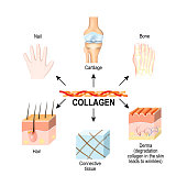 Collagen is the main structural protein in the: connective tissues, cartilages, bones, nails, derma and hair. Synthesis and types of collagen. Vector illustration for medical, science, and educational