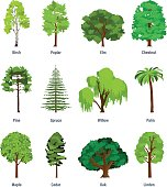 Collection of different kinds of trees: birch, poplar, elm, chestnut, pine, spruce, willow, palm, maple cedar oak linden Vector illustration isolated on white background