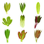 Collection of fresh salad leaves, radicchio, lettuce, romaine, kale, collard, sorrel, spinach, mizuna healthy organic vegetarian food vector Illustration