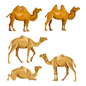 Collection of vector camels isolated on a white background. Bactrian and dromedary.