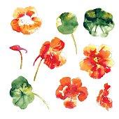 Set of orange watercolor nasturtium flowers and leaves