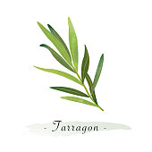 Colorful watercolor texture vector healthy vegetable tarragon