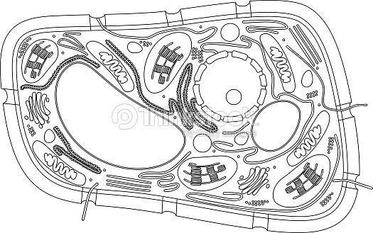 Página Para Colorear Estructura De La Célula De La Planta Arte