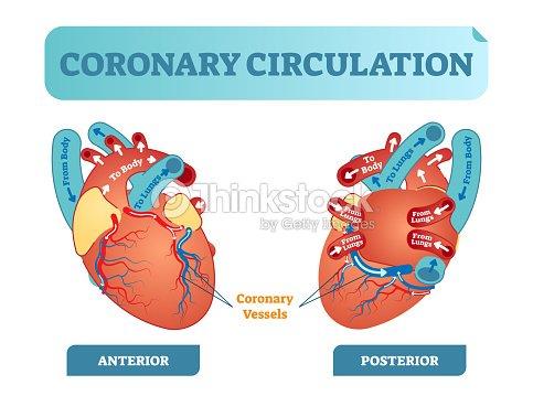 Diagrama De Sección Transversal Anatómica Circulación Coronaria ...