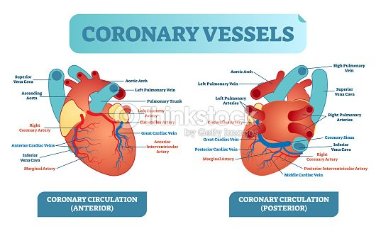 Coronary vessels anatomical health care vector illustration labeled coronary vessels anatomical health care vector illustration labeled diagram heart blood flow system with blood ccuart Image collections