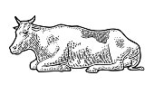 Cow. Hand drawn in a graphic style. Vintage vector engraving illustration for info graphic, poster, web. Isolated on white background