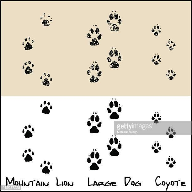 Coyote - Large Dog - Mountain Lion