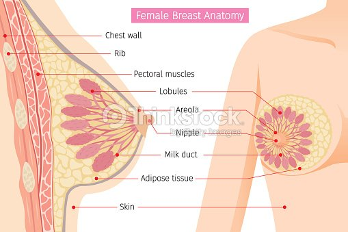 Sección Transversal De La Anatomía De La Mama Femenina Arte ...