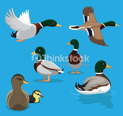 Cute Mallard Poses Flying Cartoon Vector Illustration