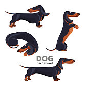 Dachshund dog with smooth black fur and long ears sits on hind legs, lies curled up and stands in profile isolated vector illustrations set on white background.