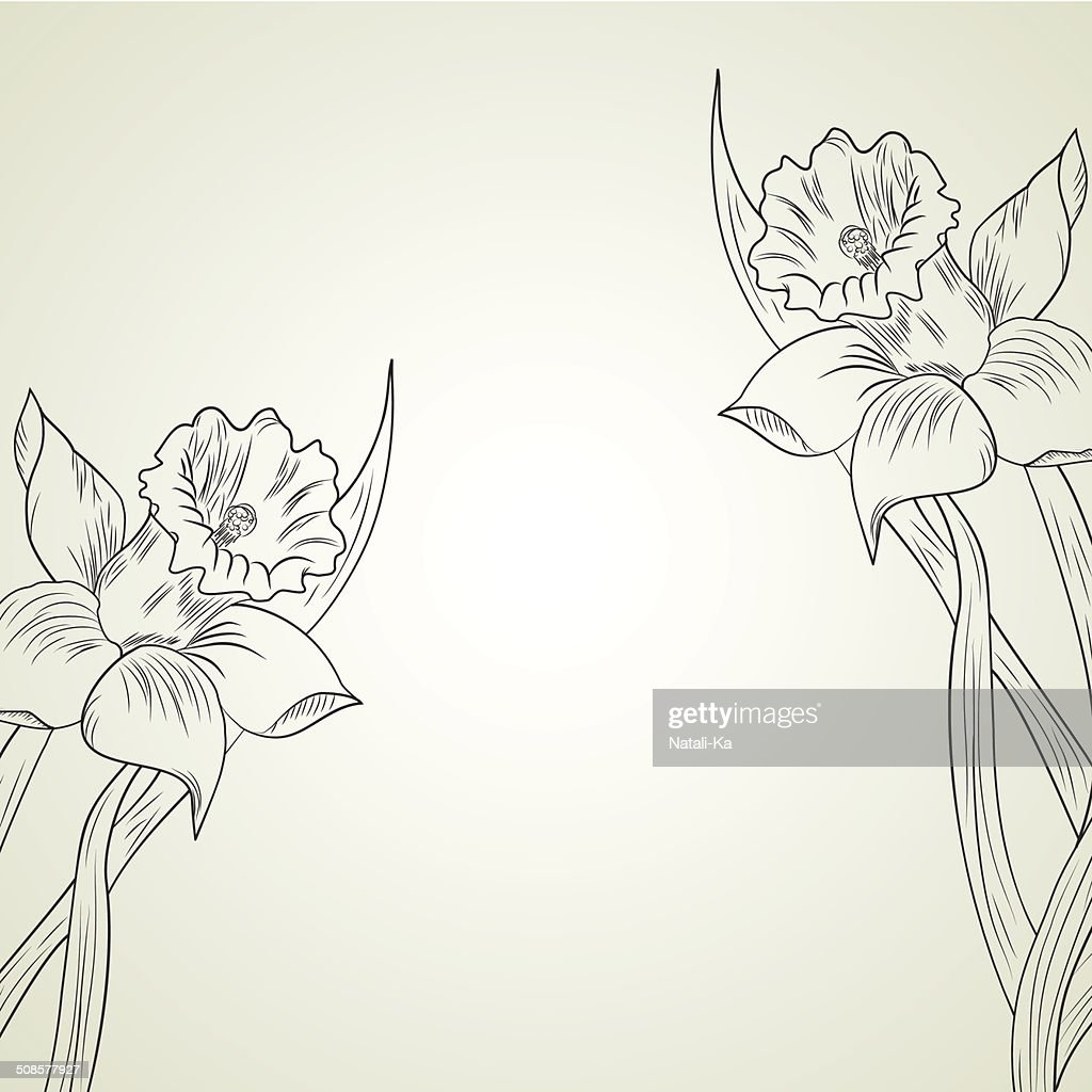 Daffodil flower or narcissus : Vector Art