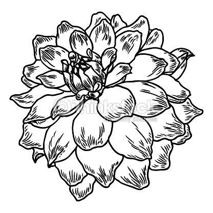 Flor De Dalia Ilustracion Vintage Botanico Tinta Blanco Y Negro