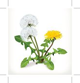 Dandelion flowers, blossoming, floral vector icon on the white background