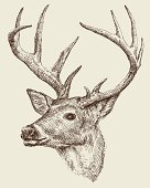 Deer drawing vector illustration