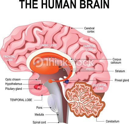 Detaillierte Anatomie Des Menschlichen Gehirns Stock-Illustration ...