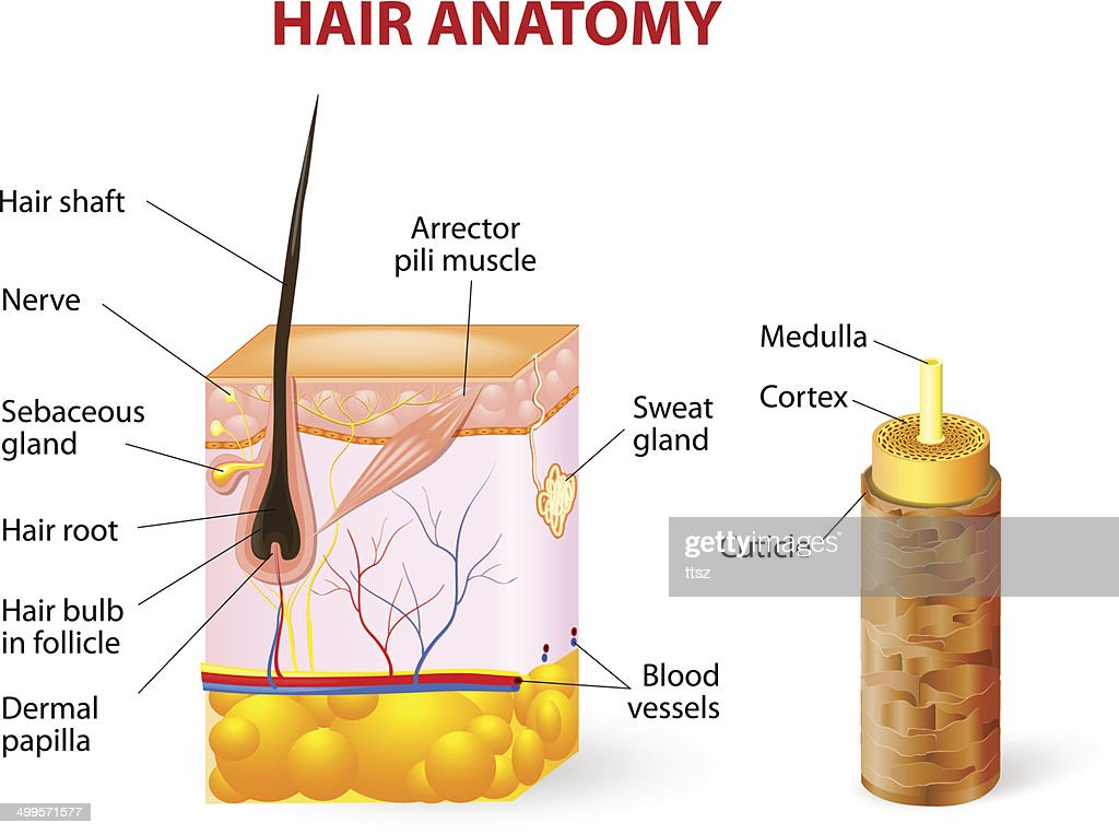 Hair Anatomy Diagram - Trusted Wiring Diagrams •