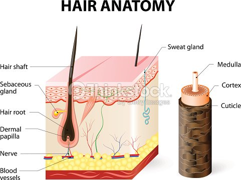 Diagram Of A Hair Follicle In A Cross Section Of Skin Layers Vector
