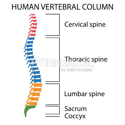 Esquema De Una Columna Vertebral Humana Arte vectorial   Thinkstock