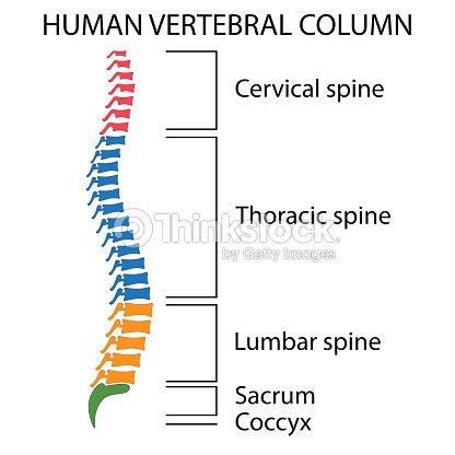 Diagram Of A Human Spine Vector Art Thinkstock