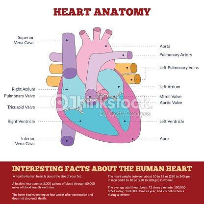 Diagramm Des Menschlichen Herz Anatomie Vektorgrafik | Thinkstock