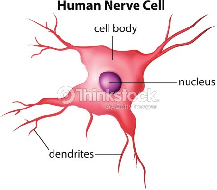 Diagram of human nerve cell vector art thinkstock diagram of human nerve cell vector art ccuart Gallery