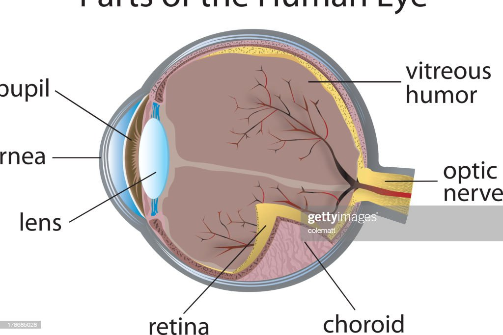 Detailed Labeled Diagram Of The Eye Wiring Diagram Services