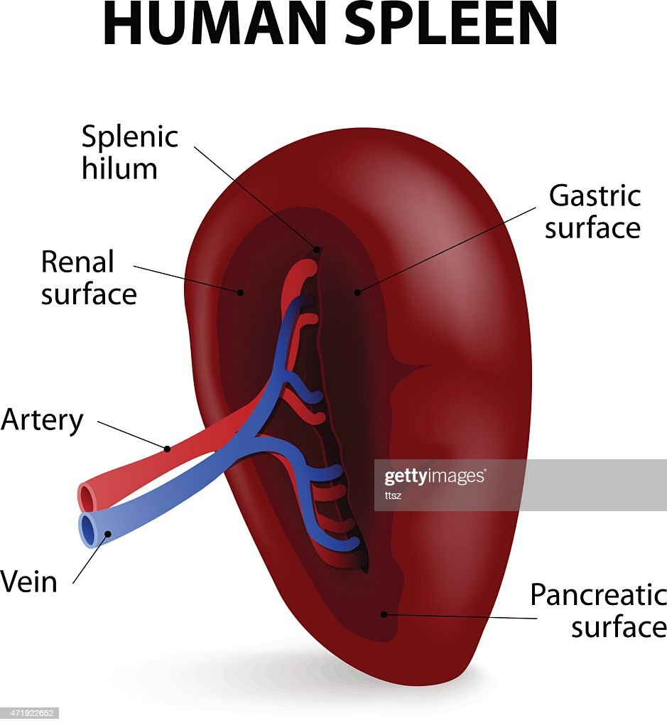Spleen Location Diagram Wiring Diagram Electricity Basics 101