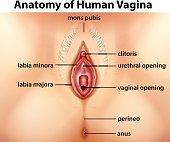 Diagram showing anatomy of human vagina illustration