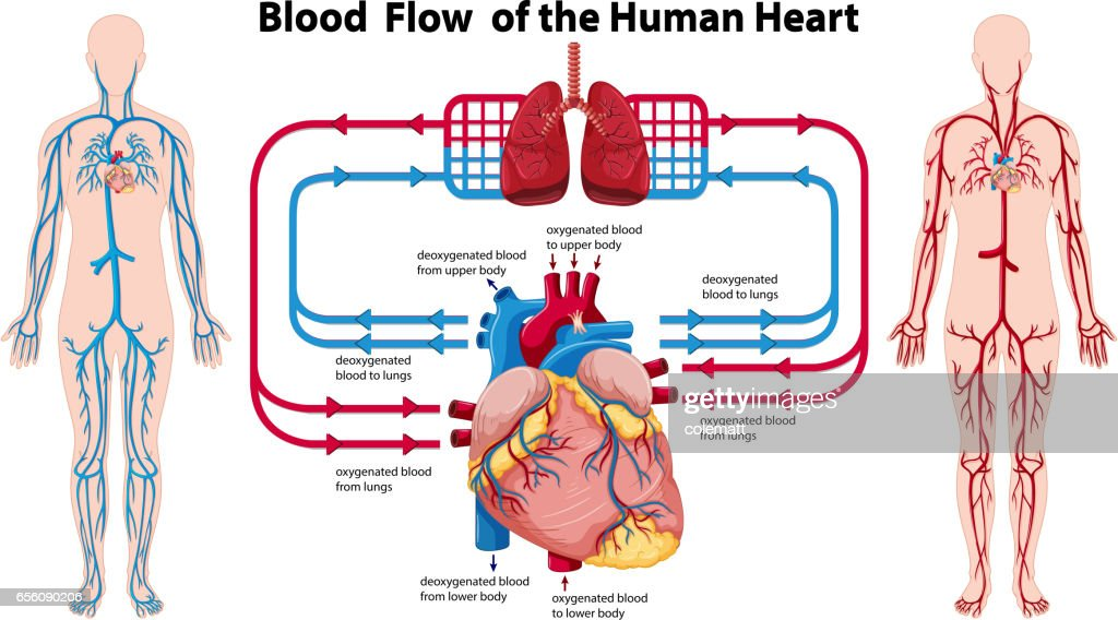 Diagram showing the human heart all kind of wiring diagrams diagram showing blood flow of the human heart vector art thinkstock rh thinkstockphotos com schematic diagram of the human heart and related blood vessels ccuart Images