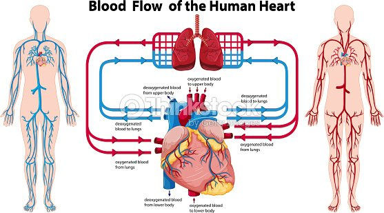 Diagram showing blood flow of the human heart vector art thinkstock diagram showing blood flow of the human heart vector art ccuart Gallery