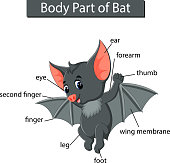 illustration of Diagram showing body part of bat